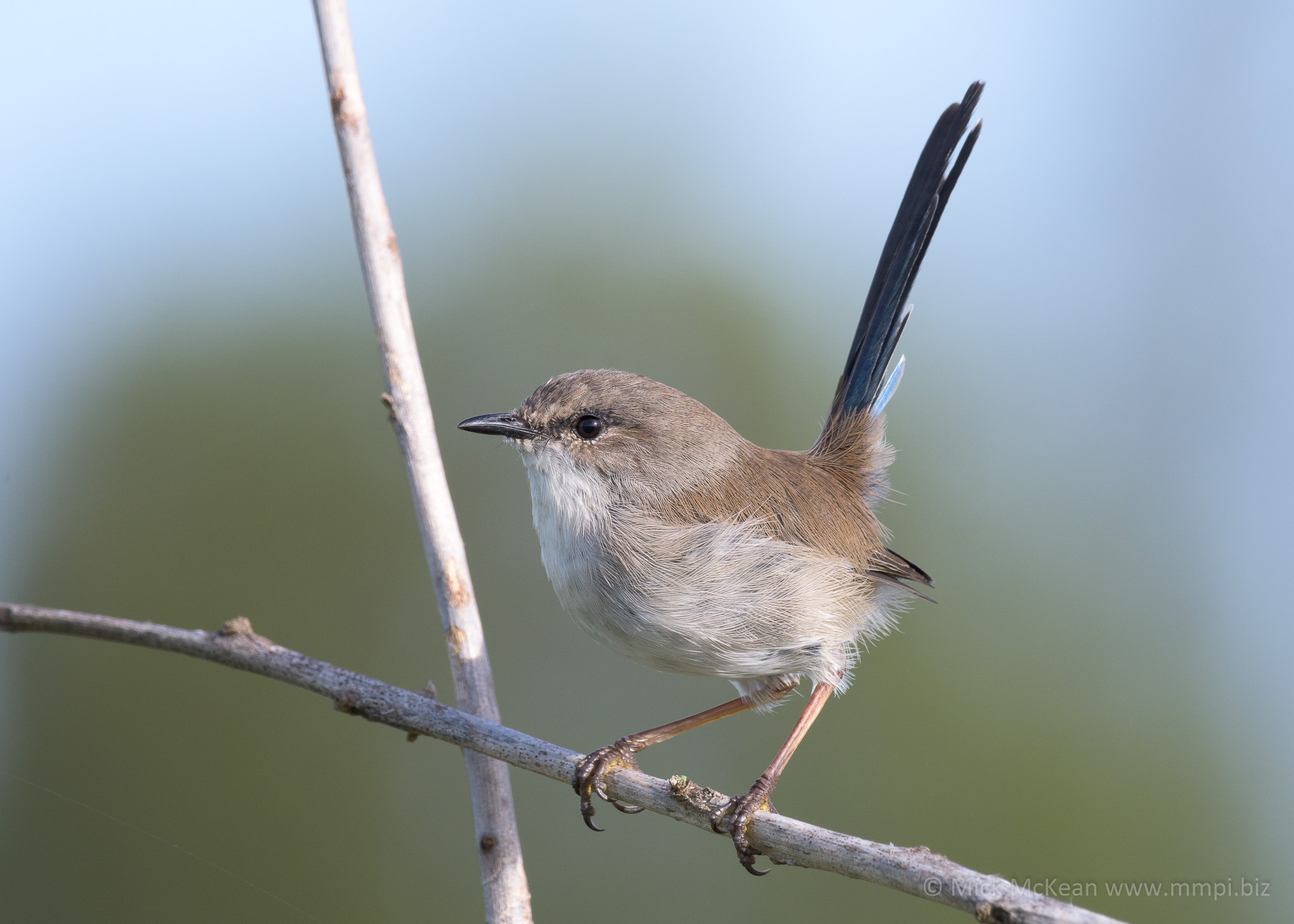 Immature Superb Fairywren
