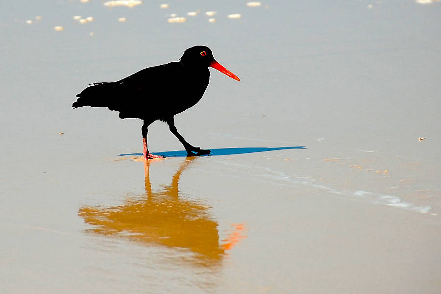 Sooty Oystercatcher on Fraser Island