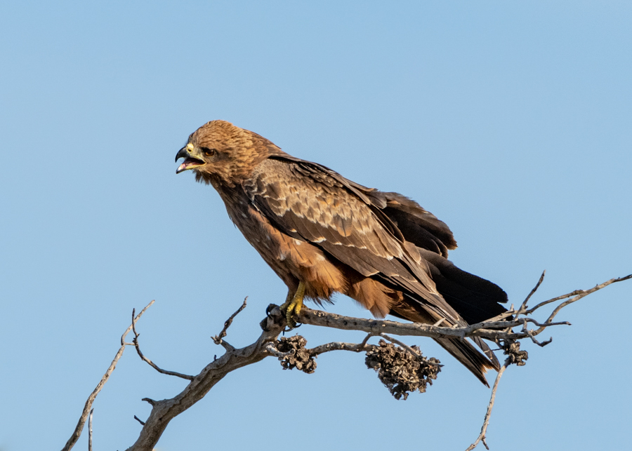 Black Kite call out
