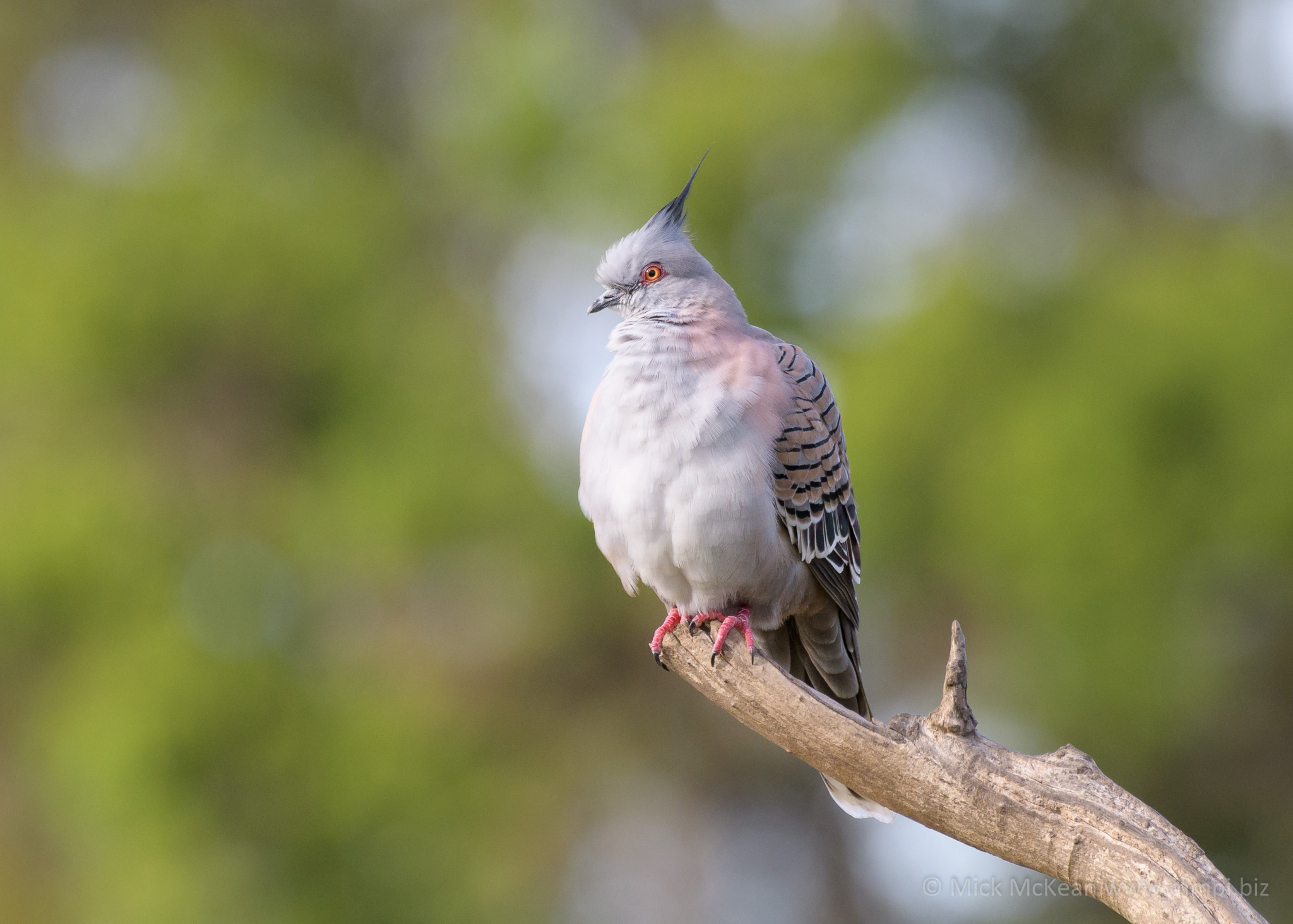 Fluffy Crested Pigeon