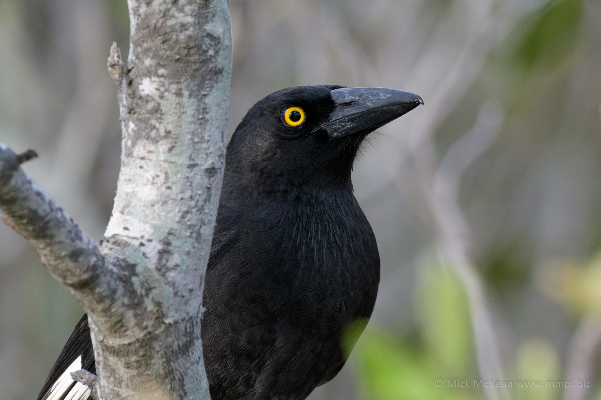 A sneaky Pied Currawong