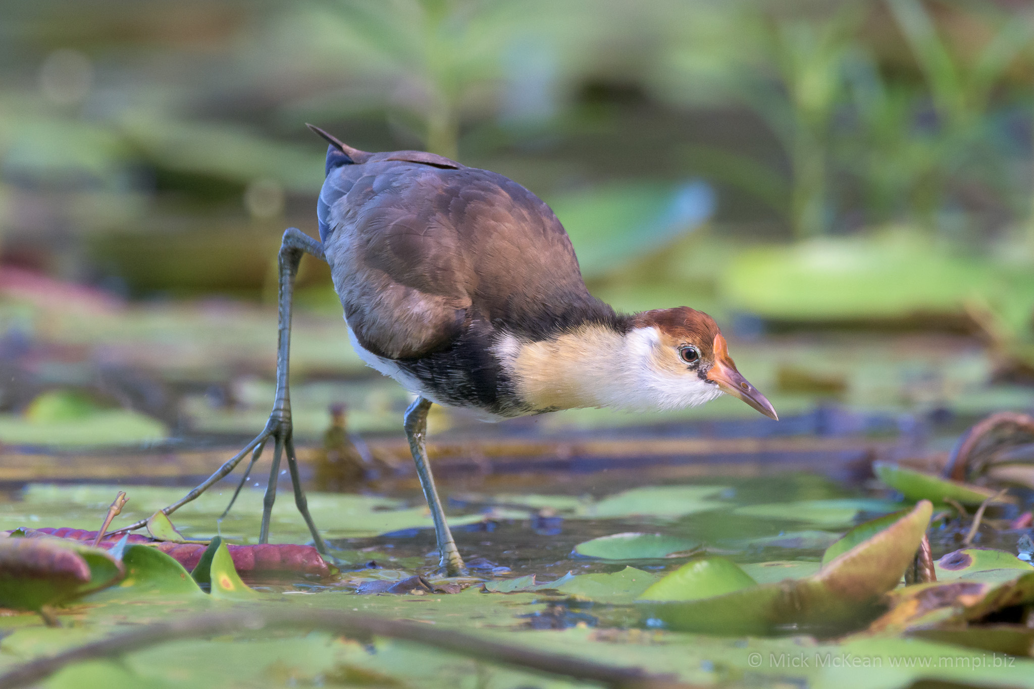 Young Comb-crested Jacana