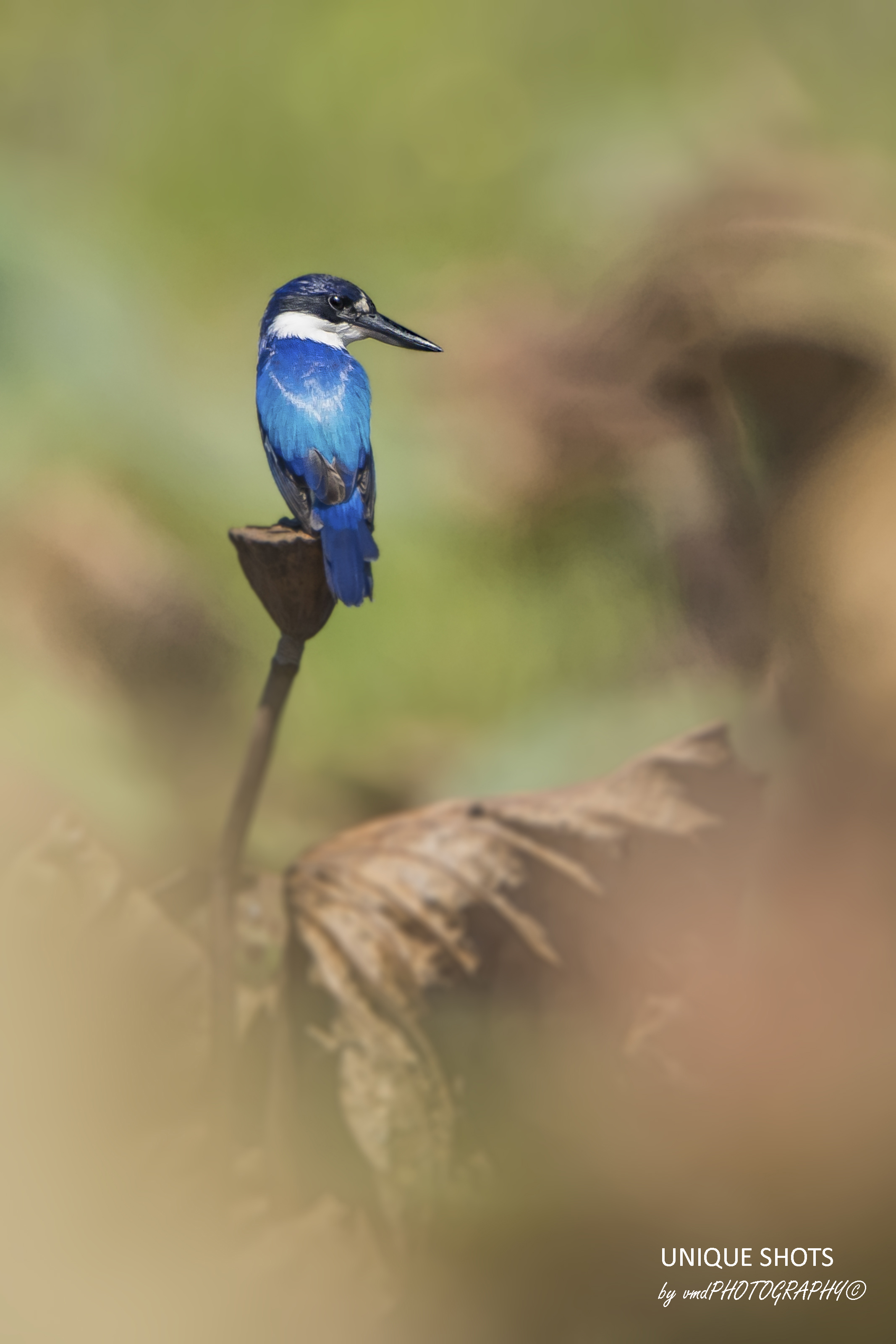 Forest Kingfisher on Fogg Dam
