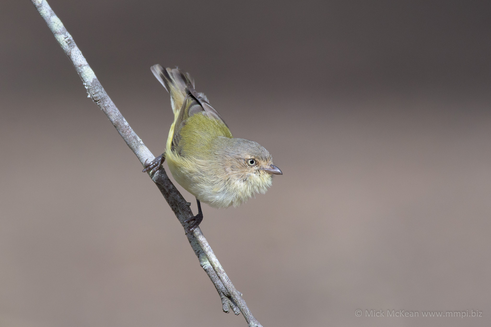 Weebill on a stick