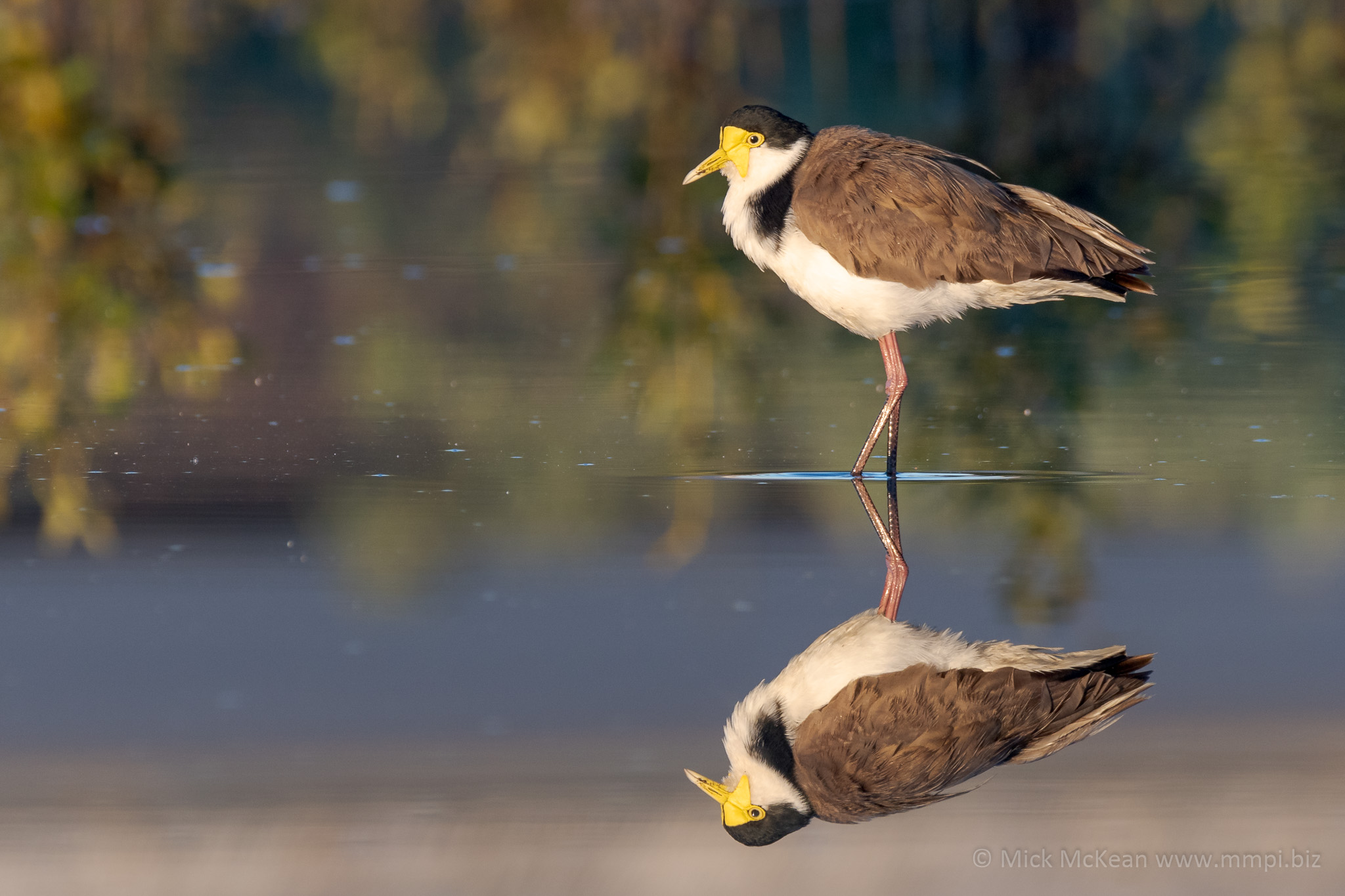 Masked Lapwing in Reflective Pond