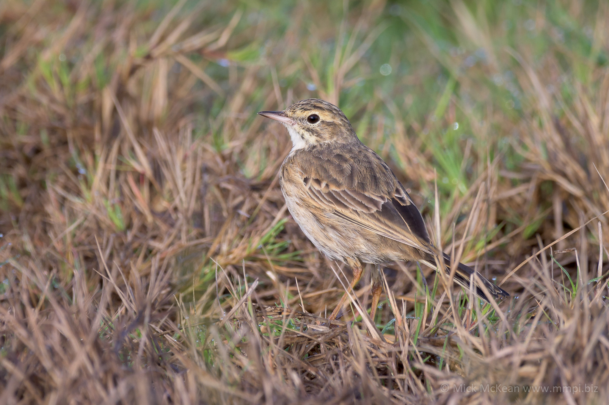 Camouflaged Australian Pipit in the Grass