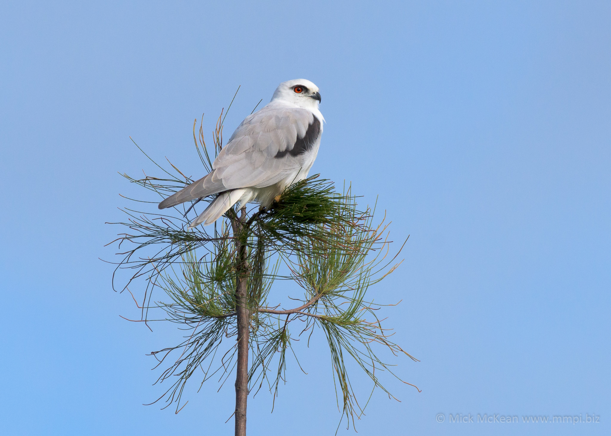 Black-Shouldered Kite in a Tree