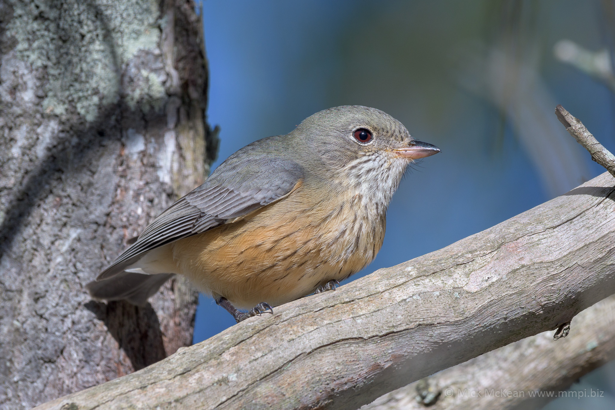 Immature male Rufous Whistler