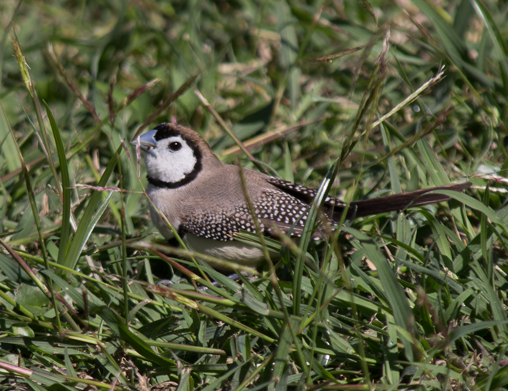 Double bar finch in the front yard.