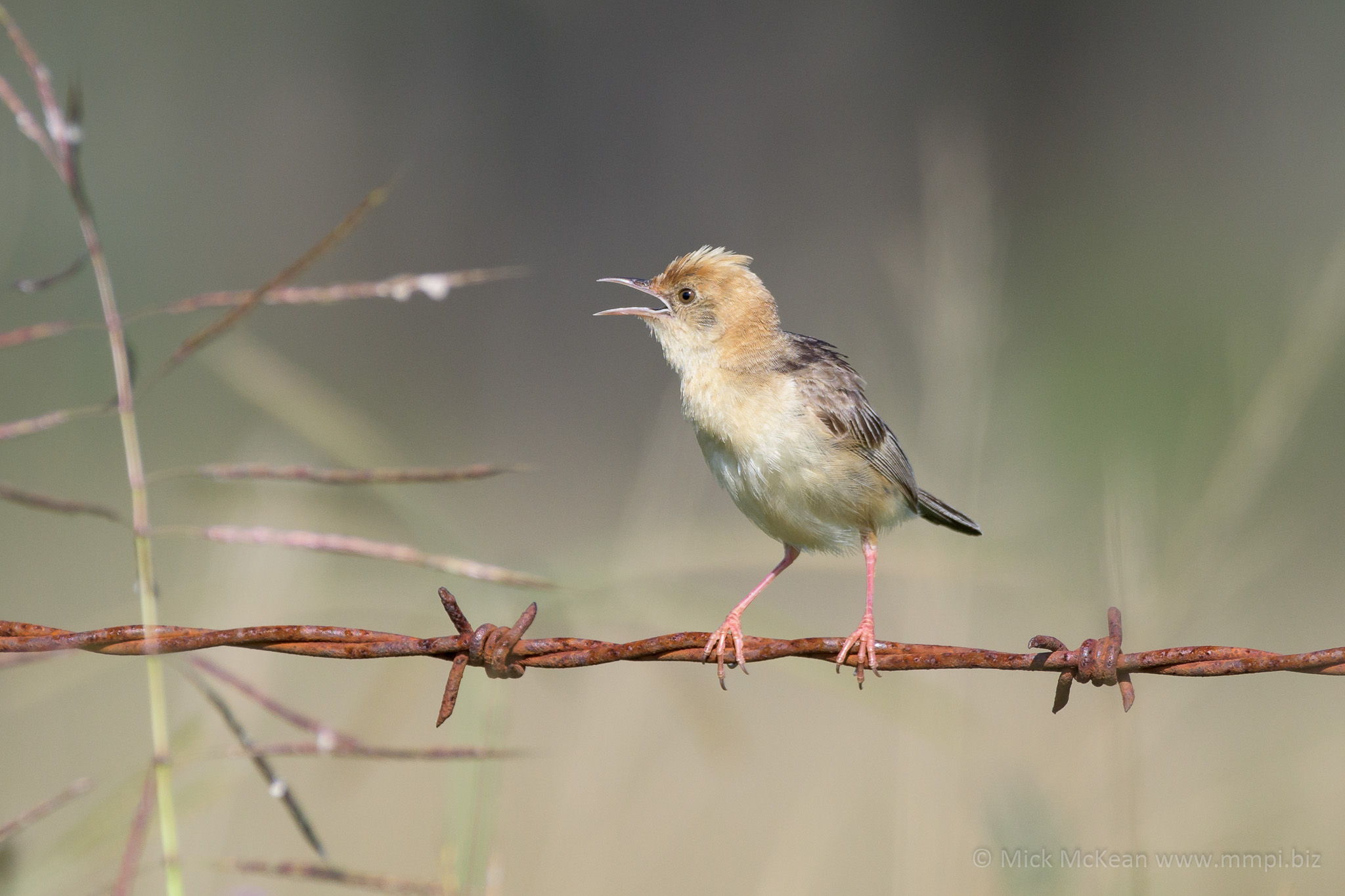 Male Golden-Headed Cisticola Chatting on Barbed-wire Fence