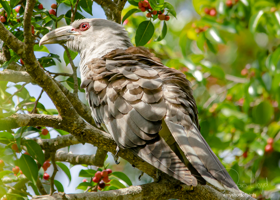 Channel-billed Cuckoo relaxing
