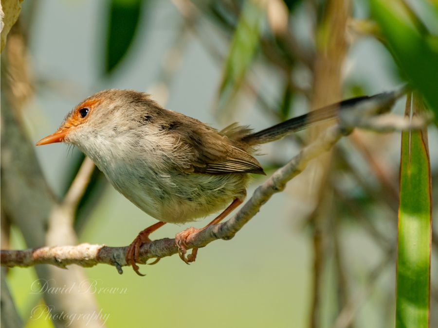Superb Fairywren, Female