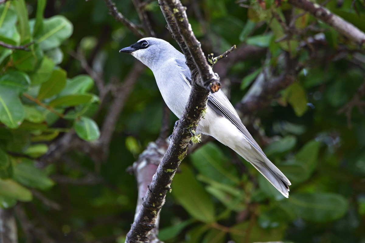 White-bellied Cuckoo Shrike checking us out.