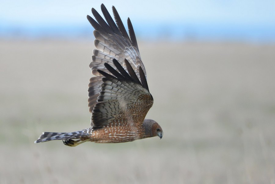 Spotted Harrier hunting along the road verge.