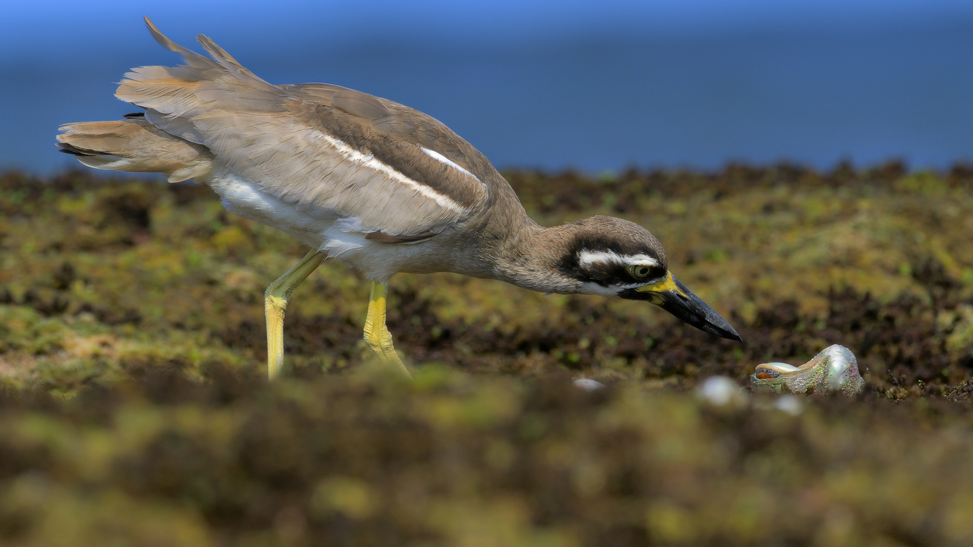 Beach stone-curlew feeding at low tide