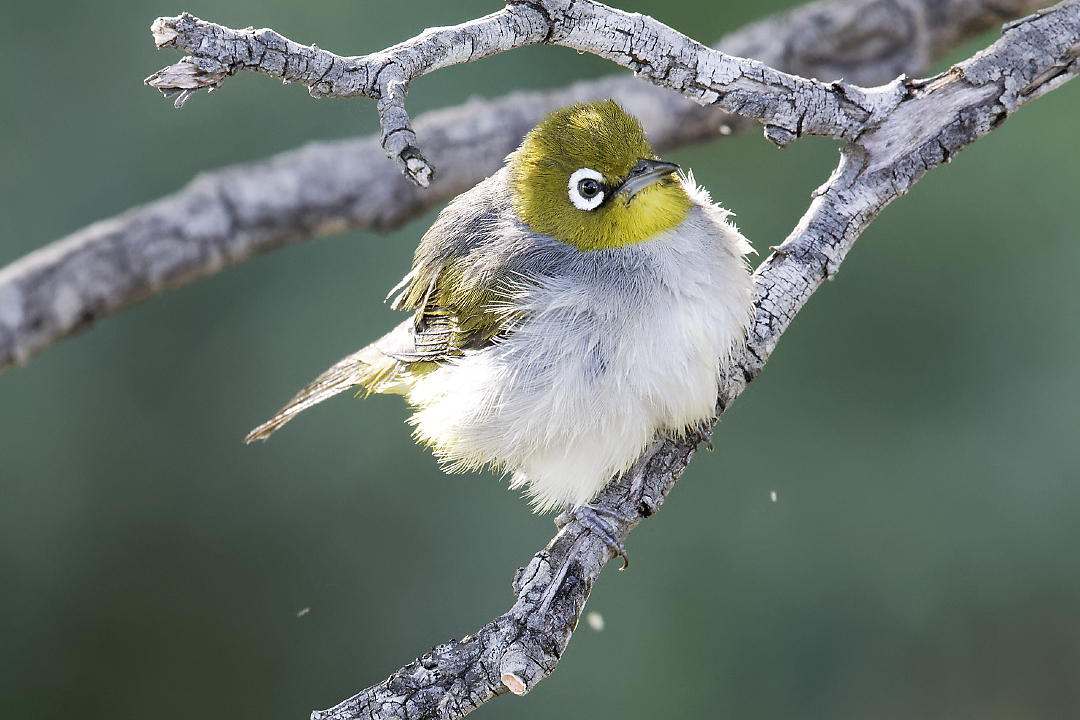 Fluffed-up at bath time