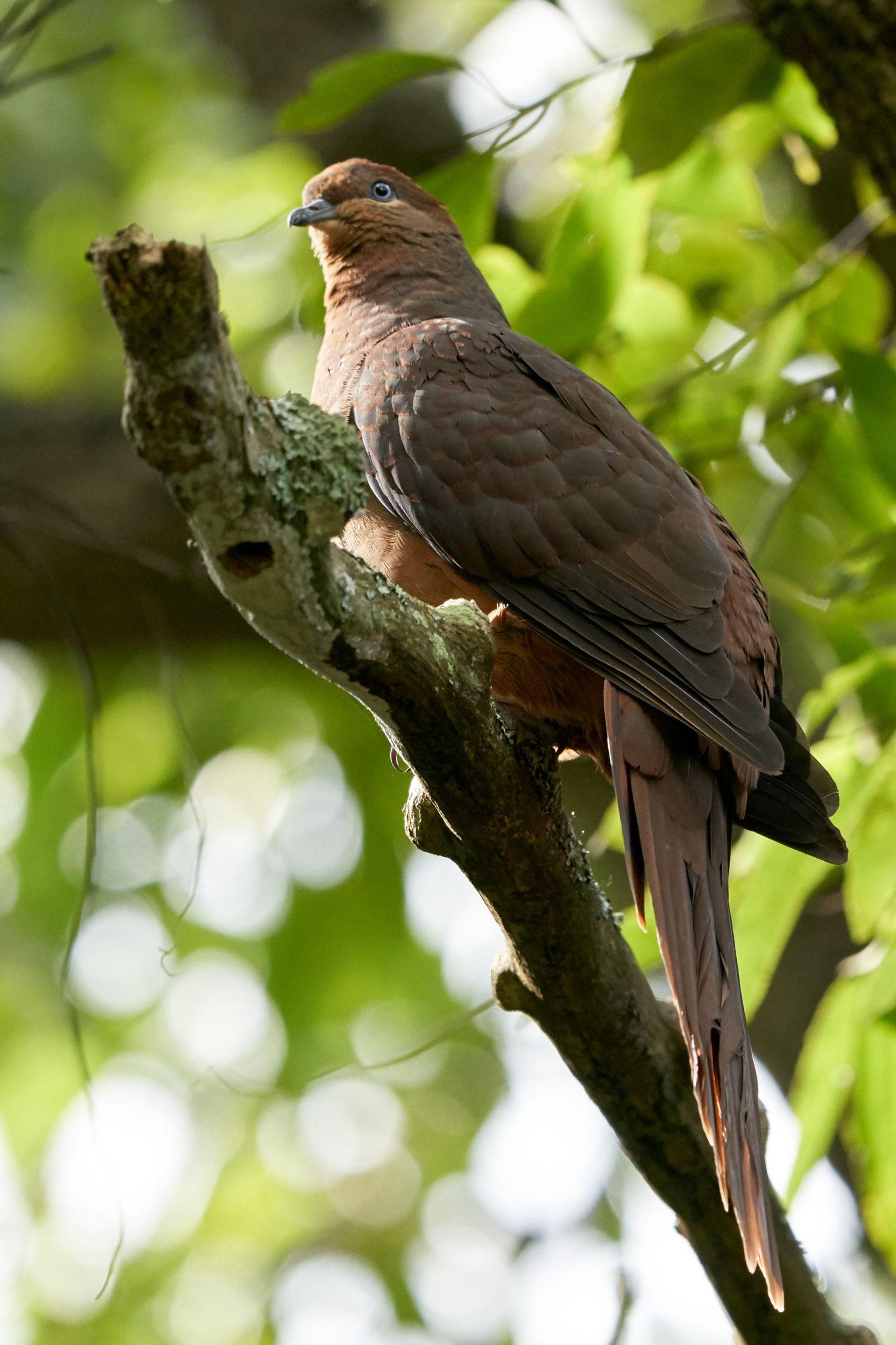 Brown cuckoo-dove
