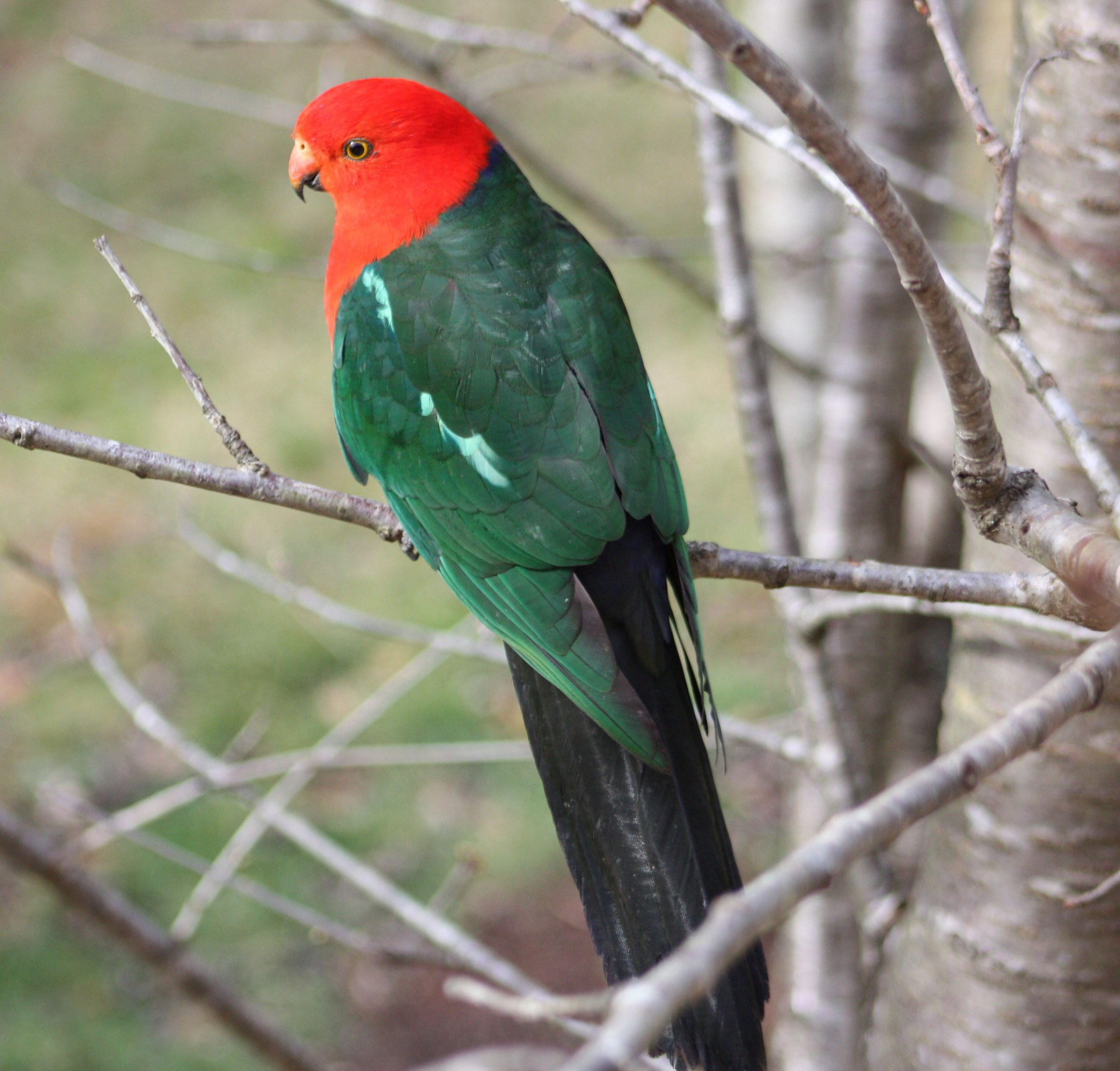 King Parrot just looking