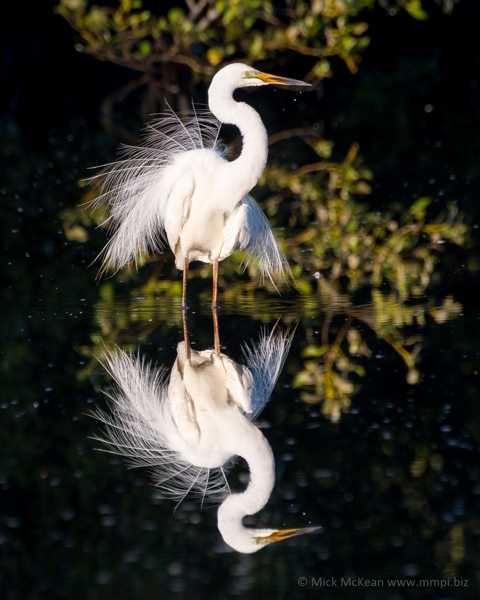 Great Egret Plumage and Reflection