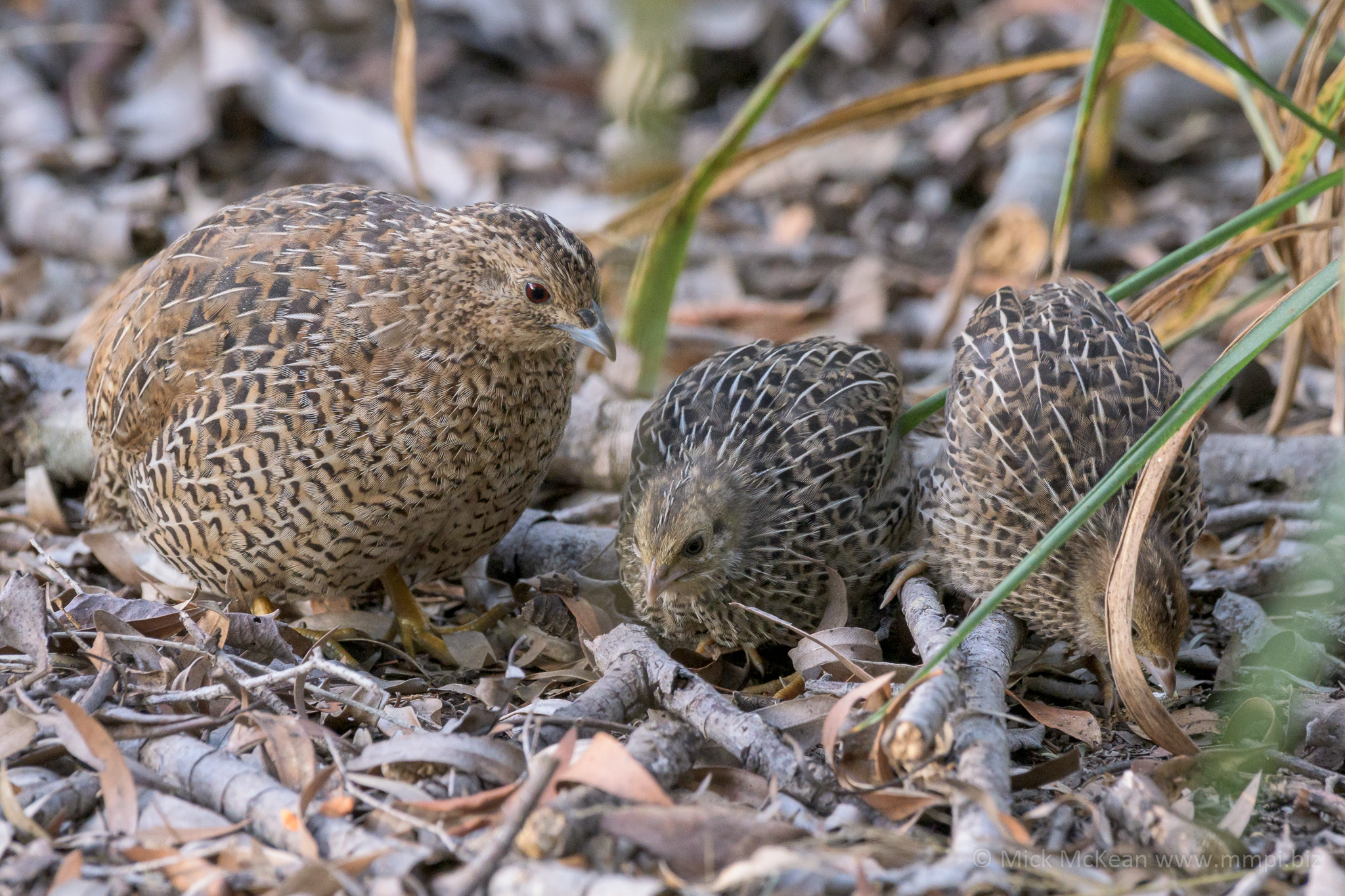 Brown Quail with Babies