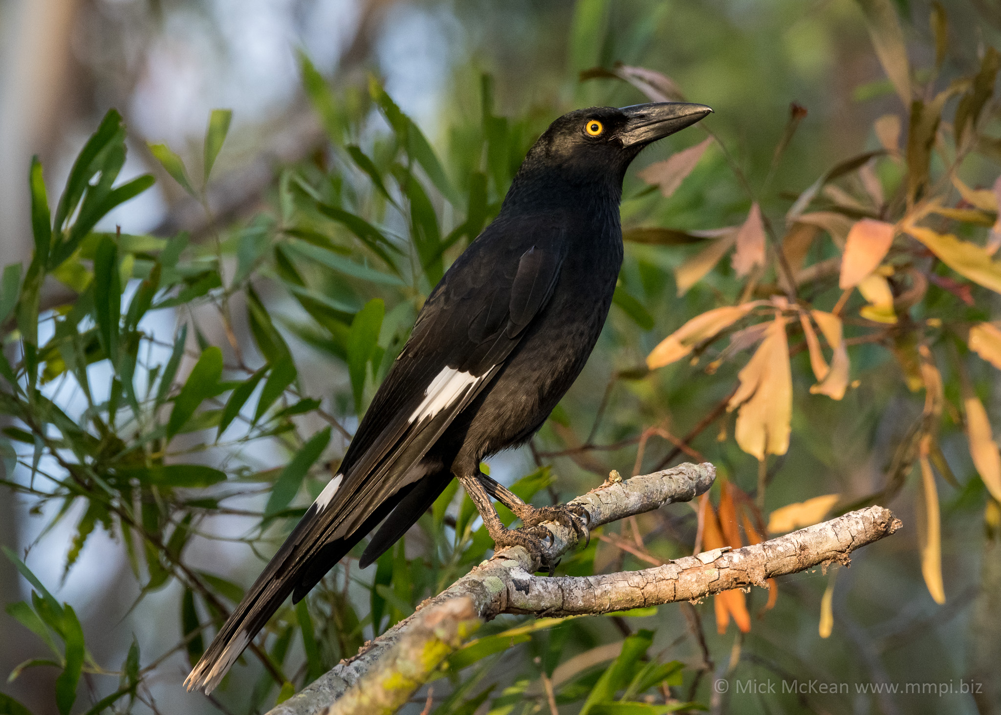 Pied Currawong in Golden Light