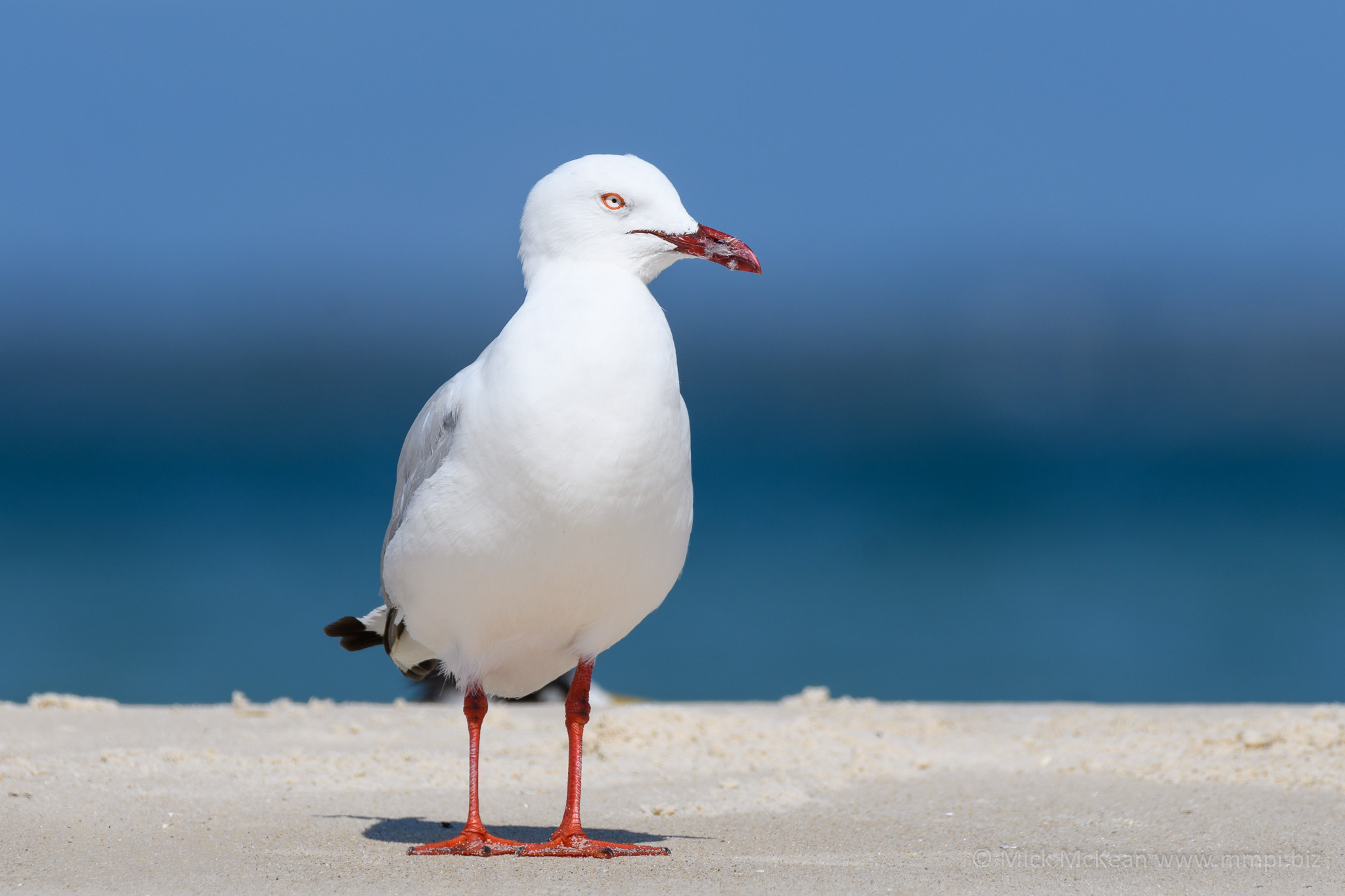 Silver Gull at the beach
