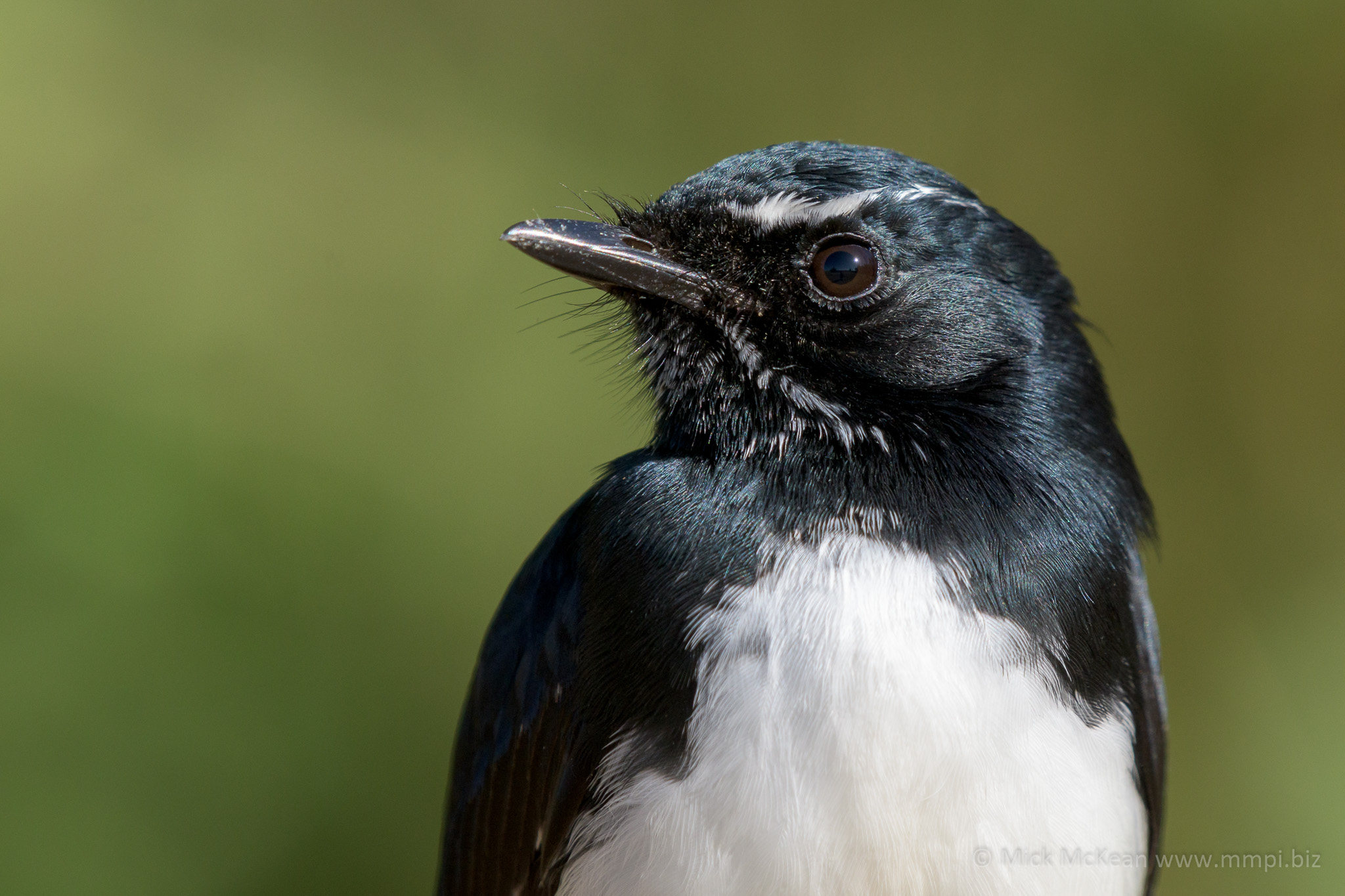 Willie Wagtail Portrait