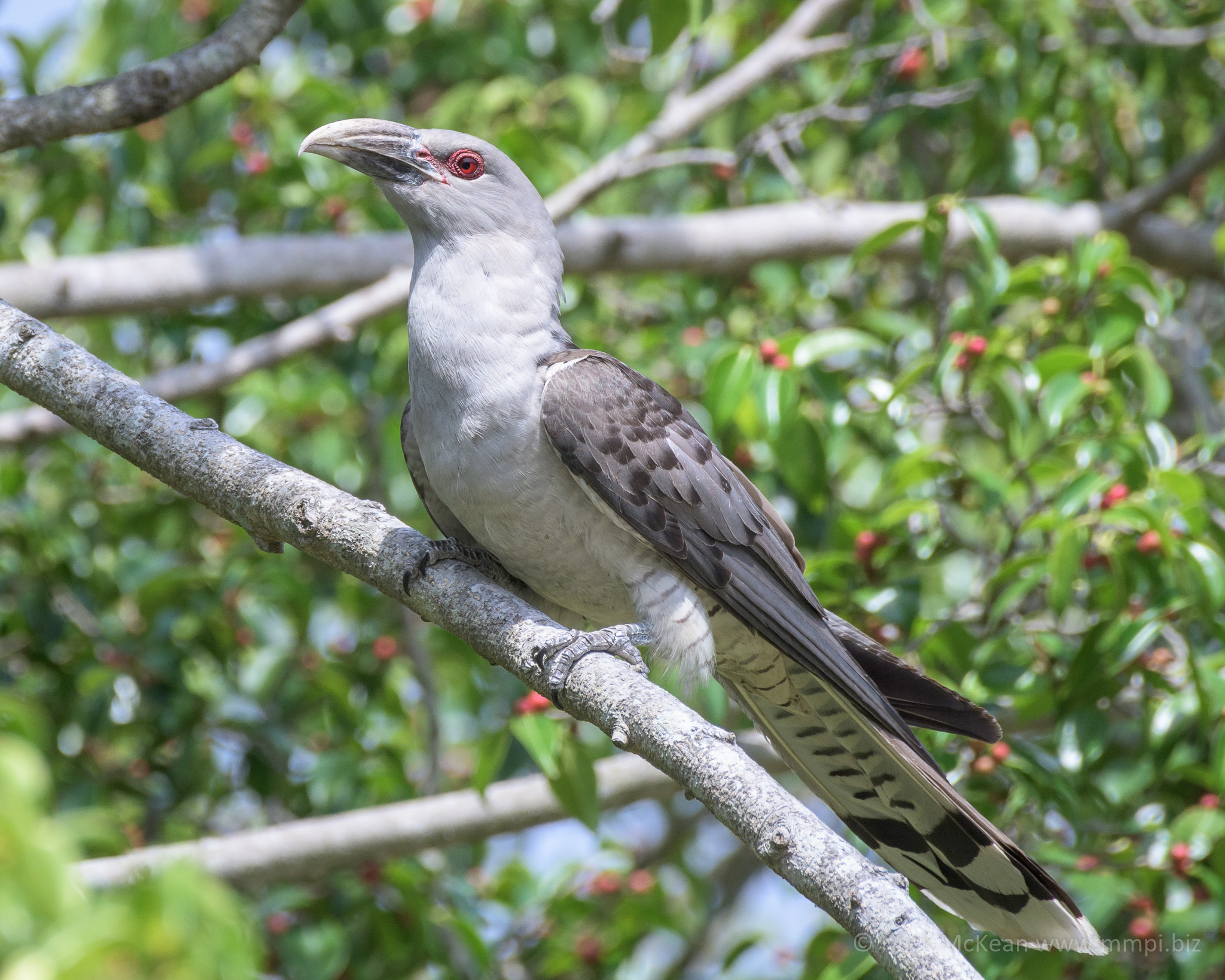 The Brute – Channel-billed Cuckoo