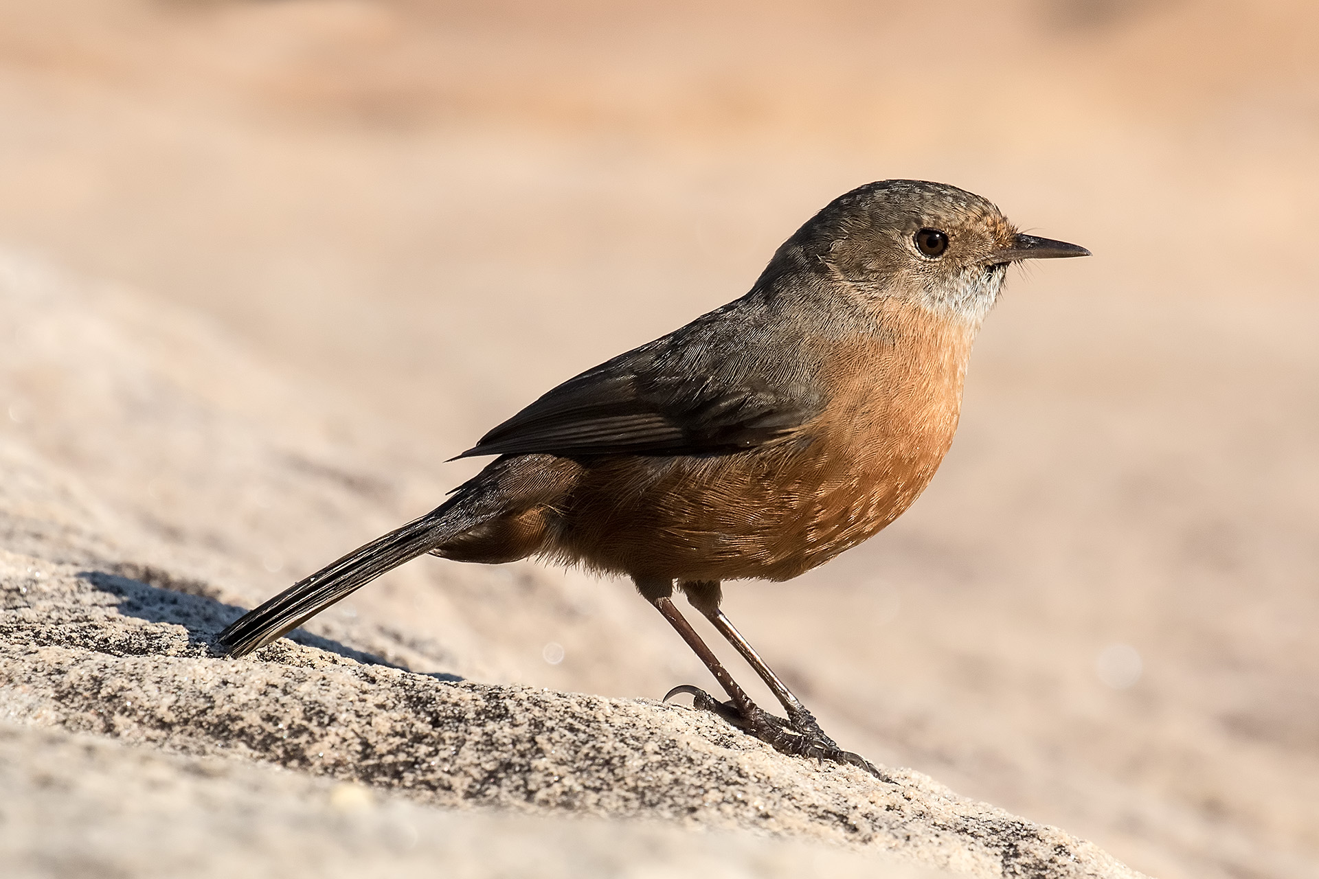 Rock Warbler perched on sandstone rock