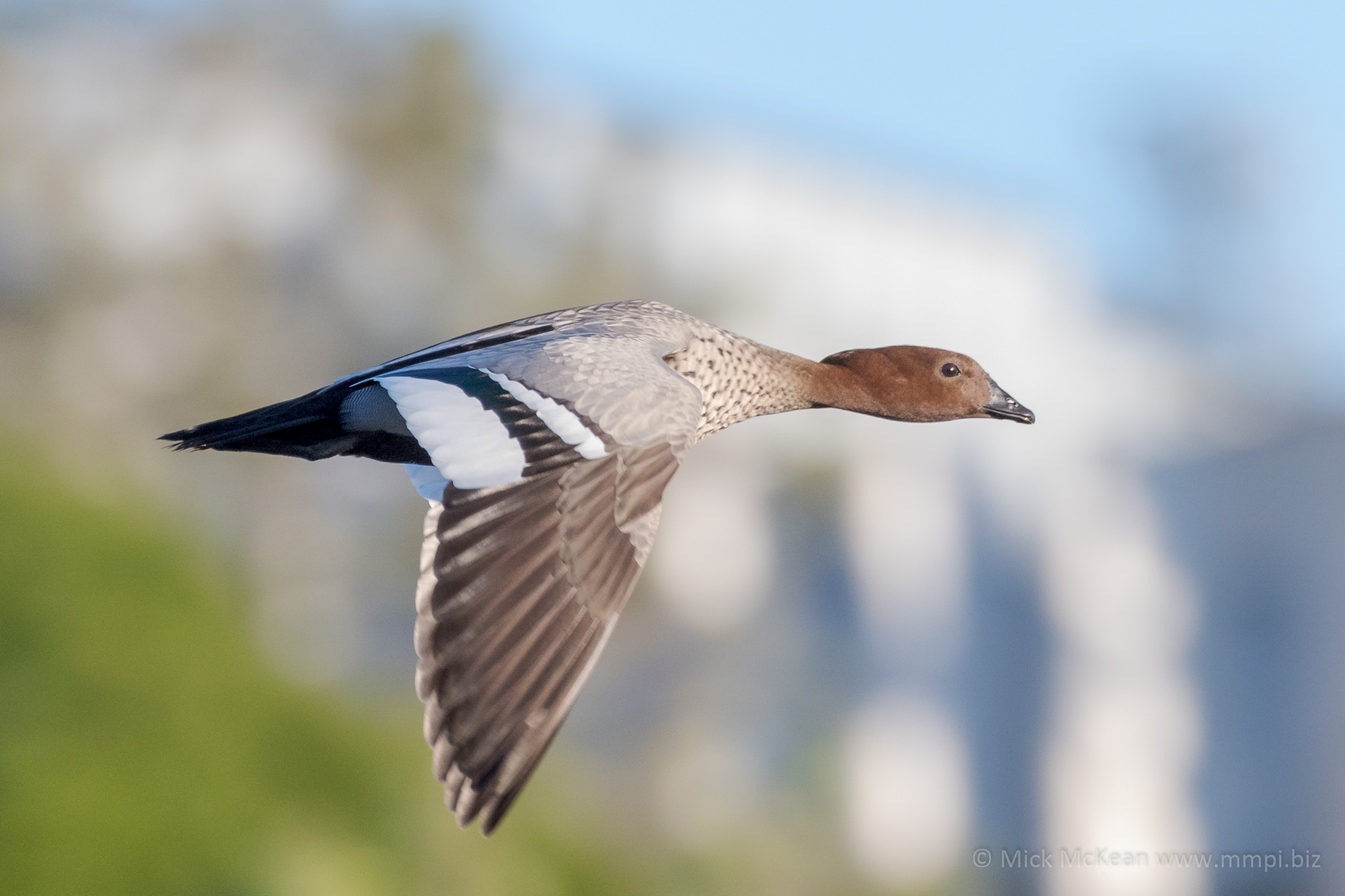 Maned Duck in a hurry