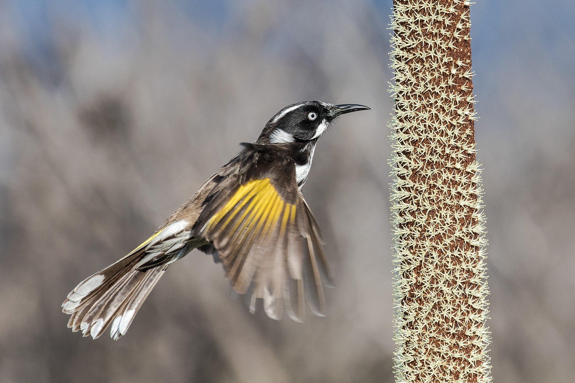 New Holland Honeyeater feeding on nectar from Oval Grass Tree