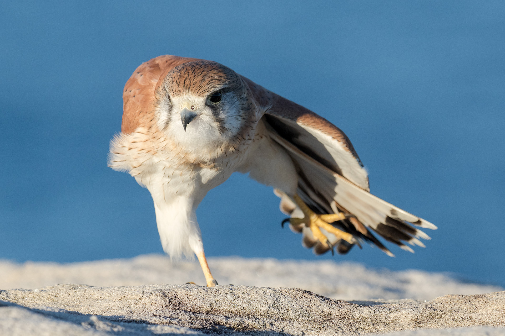 Nankeen Kestrel stretching wings