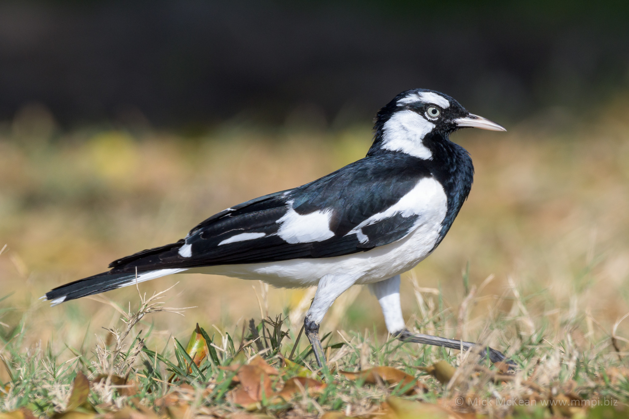 Male Magpie-lark strutting