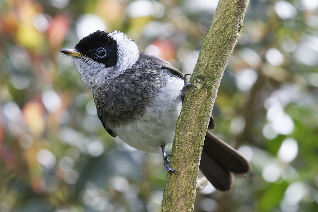 Pied Monarch