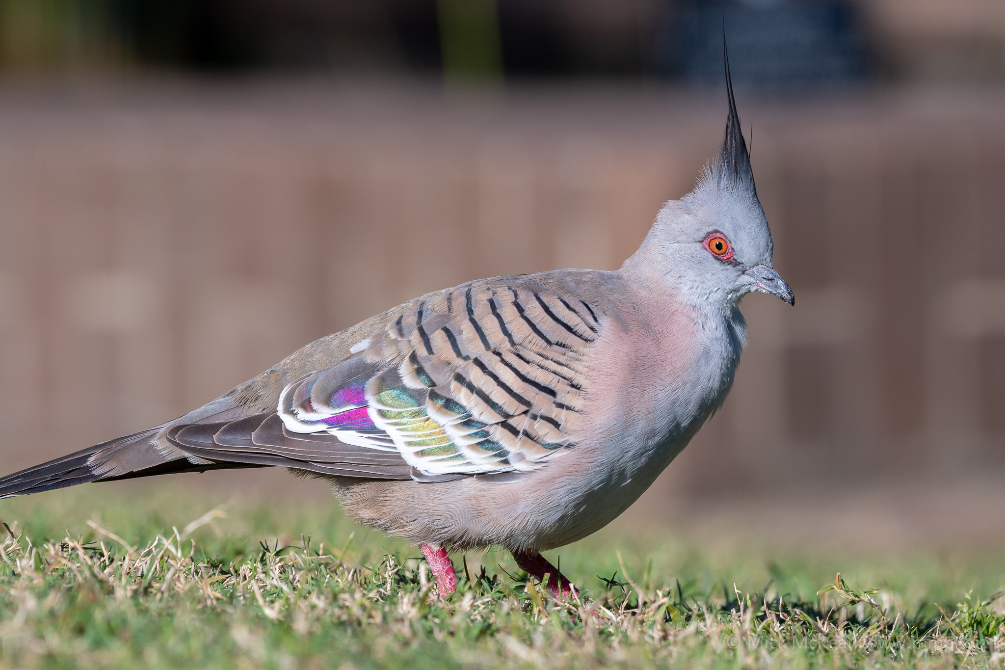 Crested Pigeon on the lawn