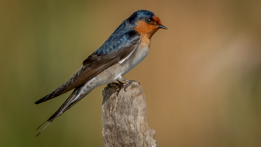 Welcome Swallow perched on a log