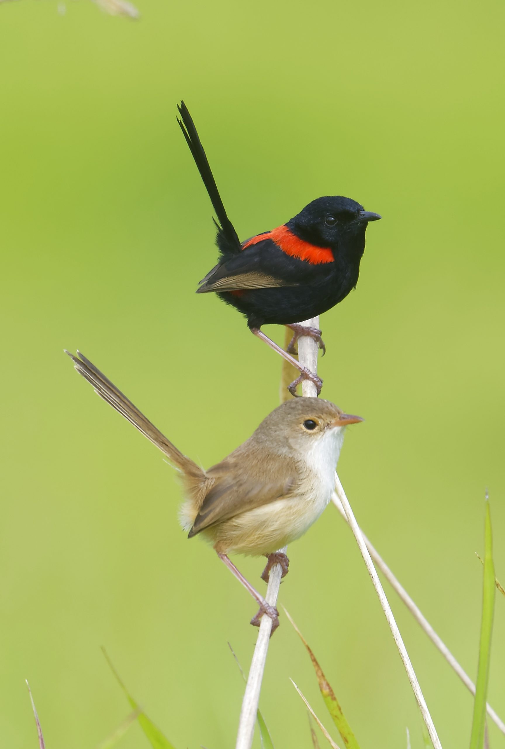 Red-backed Fairywrens