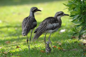 a pair of bush stone-curlews in a garden setting with their new chick
