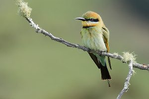 a colorful rainbow bee-eater perches on a lichen-covered branch
