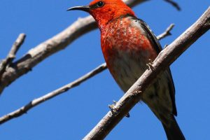 Scarlet Honeyeater showing his colours