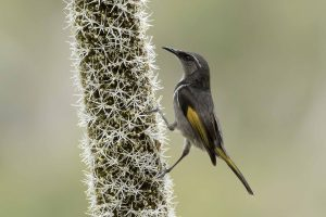 Crescent Honeyeater looking for insects on Xanthorrhoea
